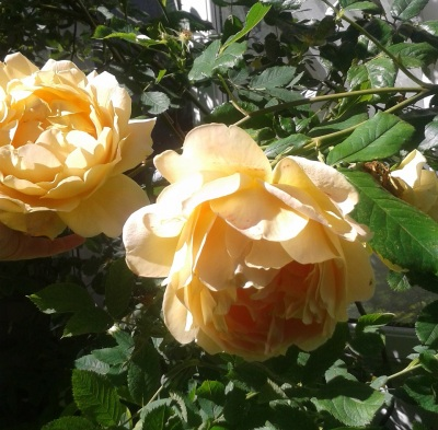 The yellow roses currently blooming in my front garden.